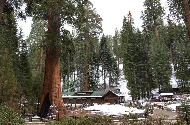 Sequoias costa oeste de eeuu